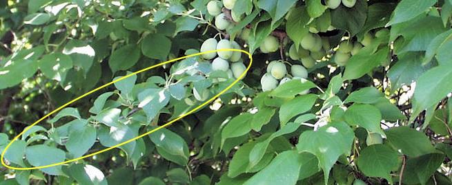 İlkbaharda elmanın yeniden aşılanması ve aşılanması